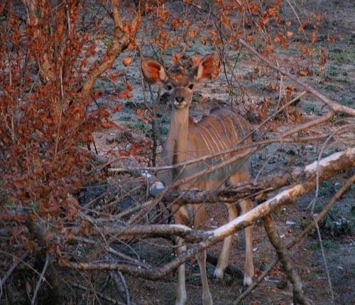 Baby Kudu by keppy