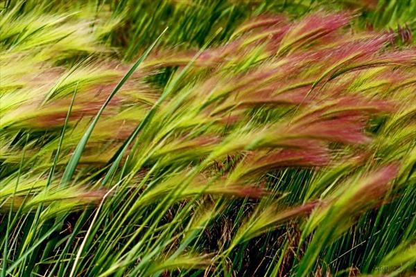 Summer:  Wild Grass in Wind by gajj