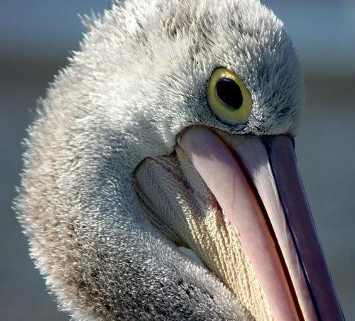 Pelican by adamm