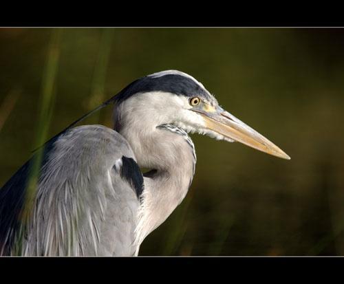 Grey Heron by sferguk