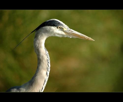 Grey Heron Profile by sferguk