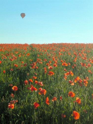 Poppy Field by hedge