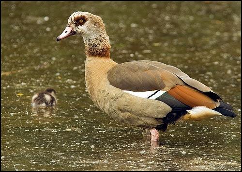 Eygptian Goose by Dennis.Alden