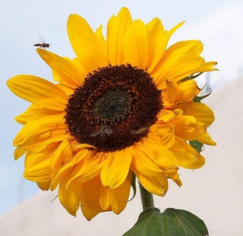 Sun flower by bono
