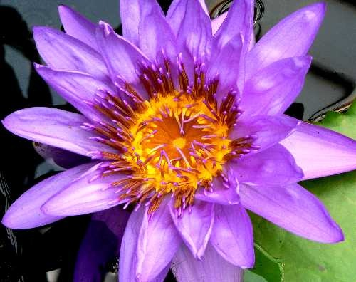Waterlilly by Les_Cornwell