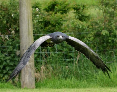 Blue Chilean Eagle by karenpics
