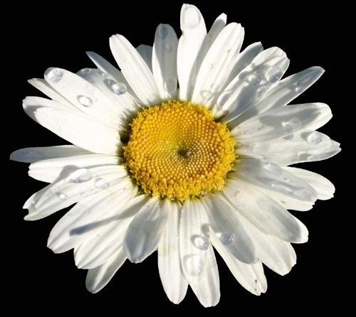 Daisy by thetriguy