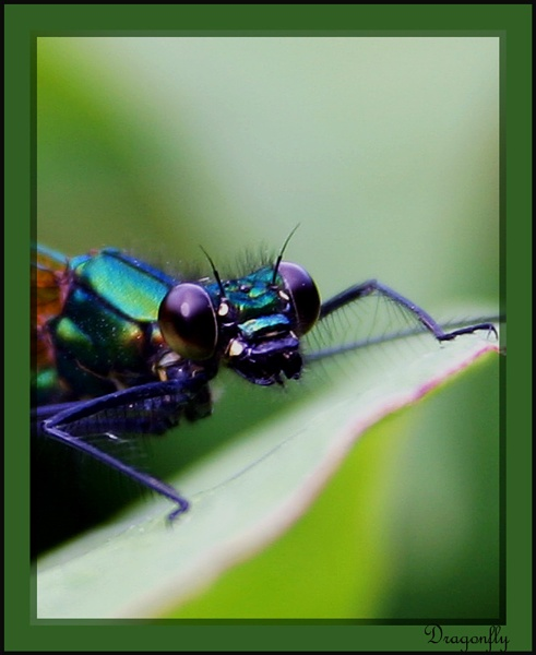 Dragonfly by paulcr