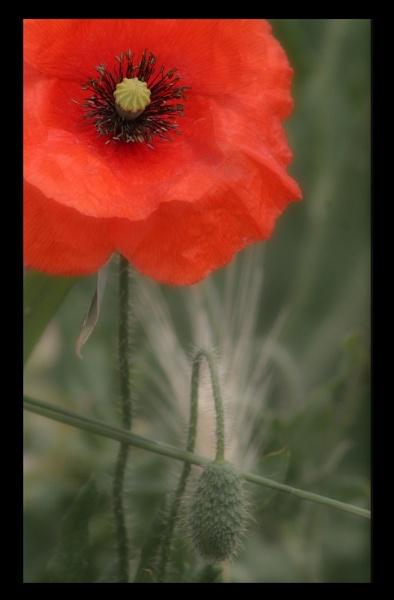 poppy by scottingham