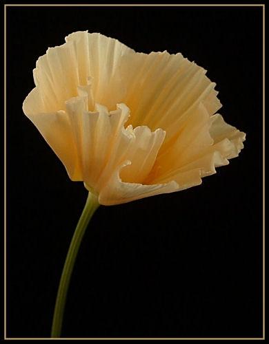Californian Poppy by cattyal