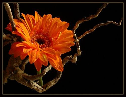 Twiggy Gerbera by cattyal