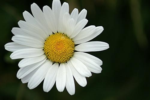 Daisy by RSaraiva