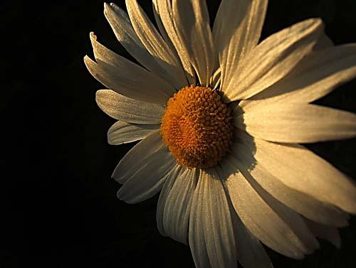 Daisy At Dusk by tezza
