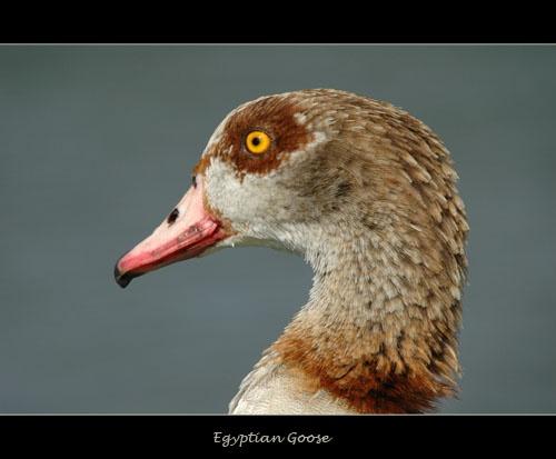 Egyptian goose by sferguk