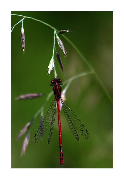 Damsel fly by jules41