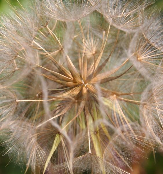 Seed Head by markharrop