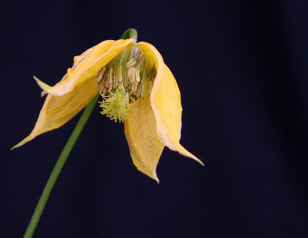 Clematis by markharrop