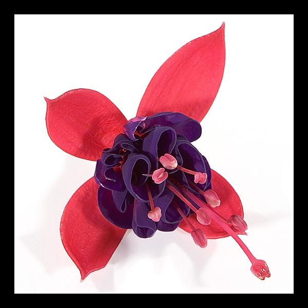 Fuchsia by AdrianTurner