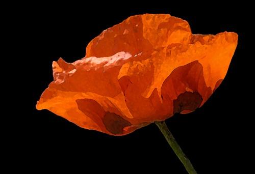 Painted Sunlit Poppy by deavilin