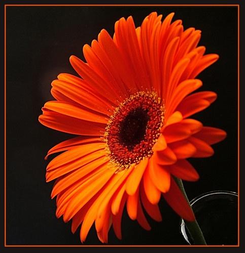 Orange Gerbra by claudette