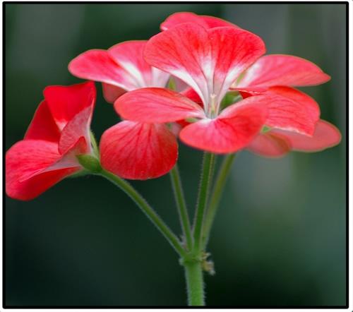 Red Flower by patrickfarrell