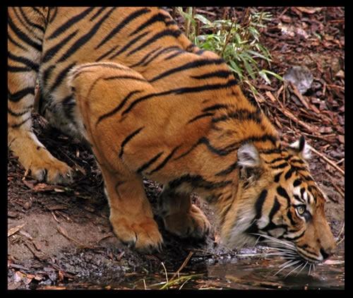 Tiger by patrickfarrell