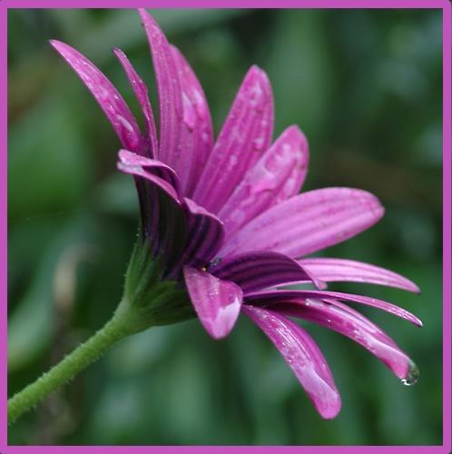 Purple Flower by patrickfarrell