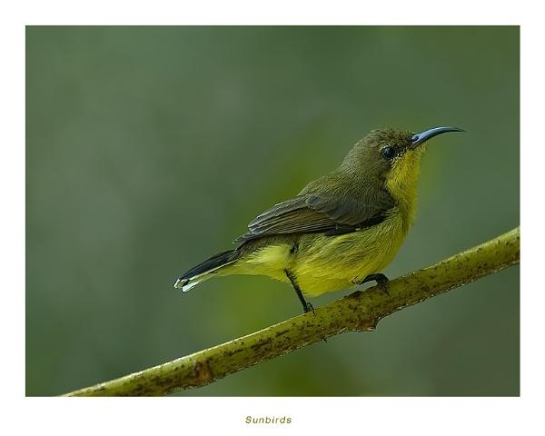 Sunbird II by suleesia