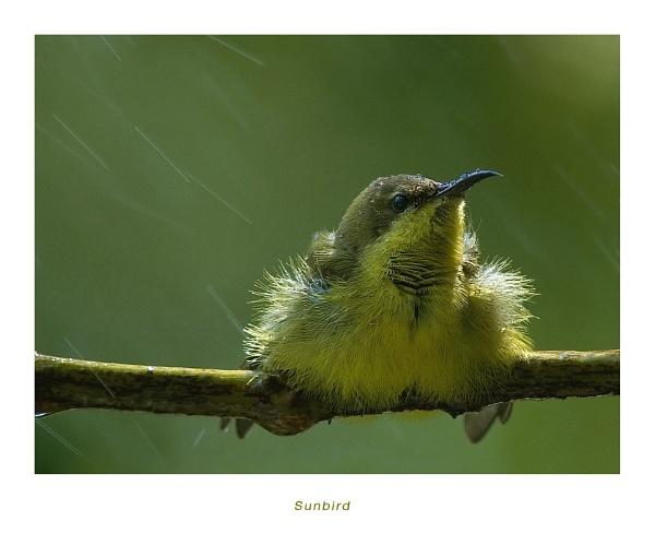 Sunbird III by suleesia