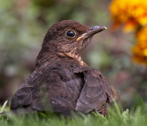 blackbird/sun tan by grom