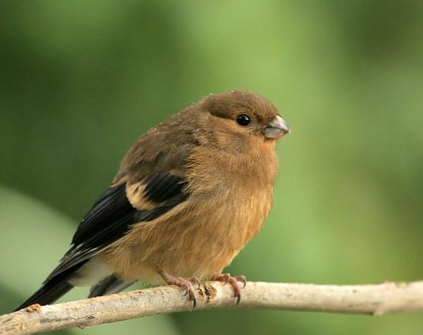Juvenile Bullfinch by John_Wannop
