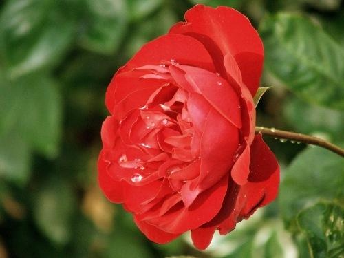 rose by drewjr
