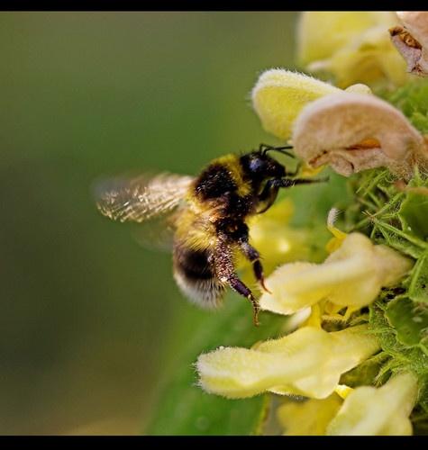 Sunlit Bee by JEFFERIES