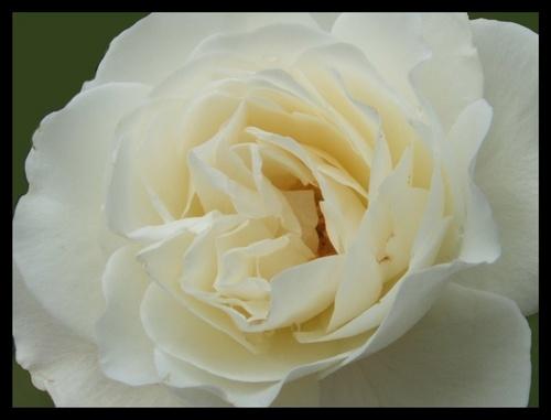 Cream Rose by EmilyP