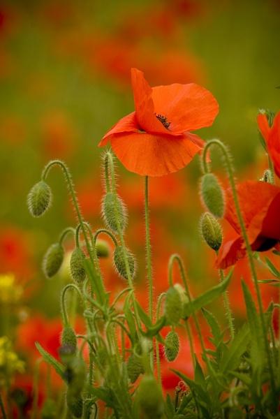 Poppy by Pete