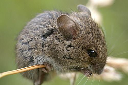 Field mouse by RSaraiva