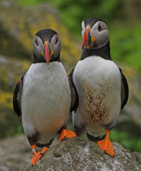 Puffin Friends by davefolky