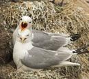 Common Gulls On the nest