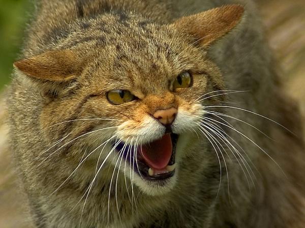 Wild cat 3 by gary900r