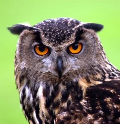 Staring Owl by Baz Hilder