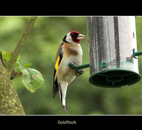Goldfinch by Keith-Mckevitt