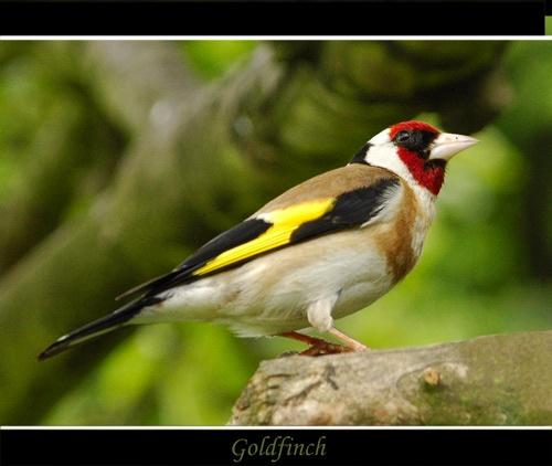 Goldfinch 2... by Keith-Mckevitt