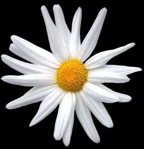 Daisy by patrickfarrell