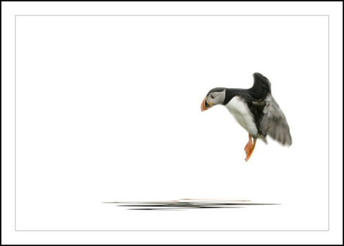 Puffin by Dave_Henderson