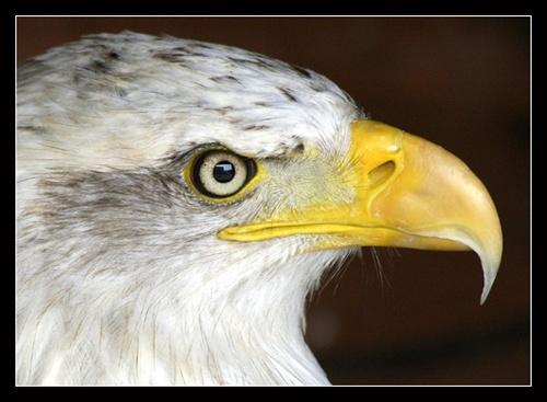 Eagle by Potto