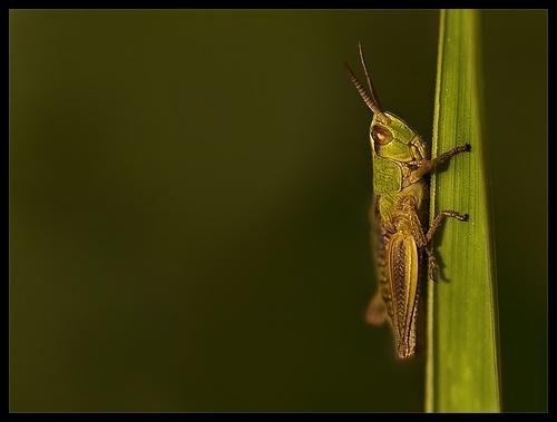 Grasshopper by solkku