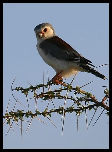 Pigmy Falcon by AntonR