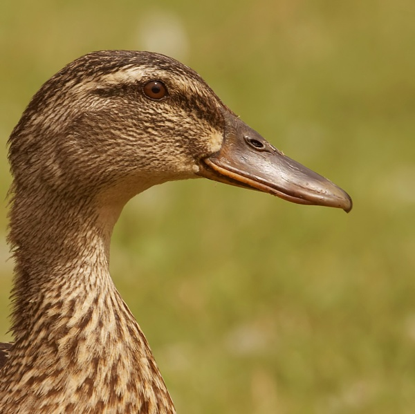Duck by JEFFERIES