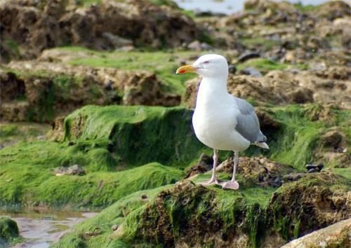 Botany Bay Seagull by Della_W