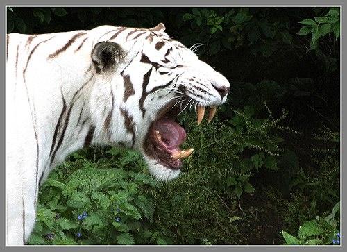 White Tiger by jon1169